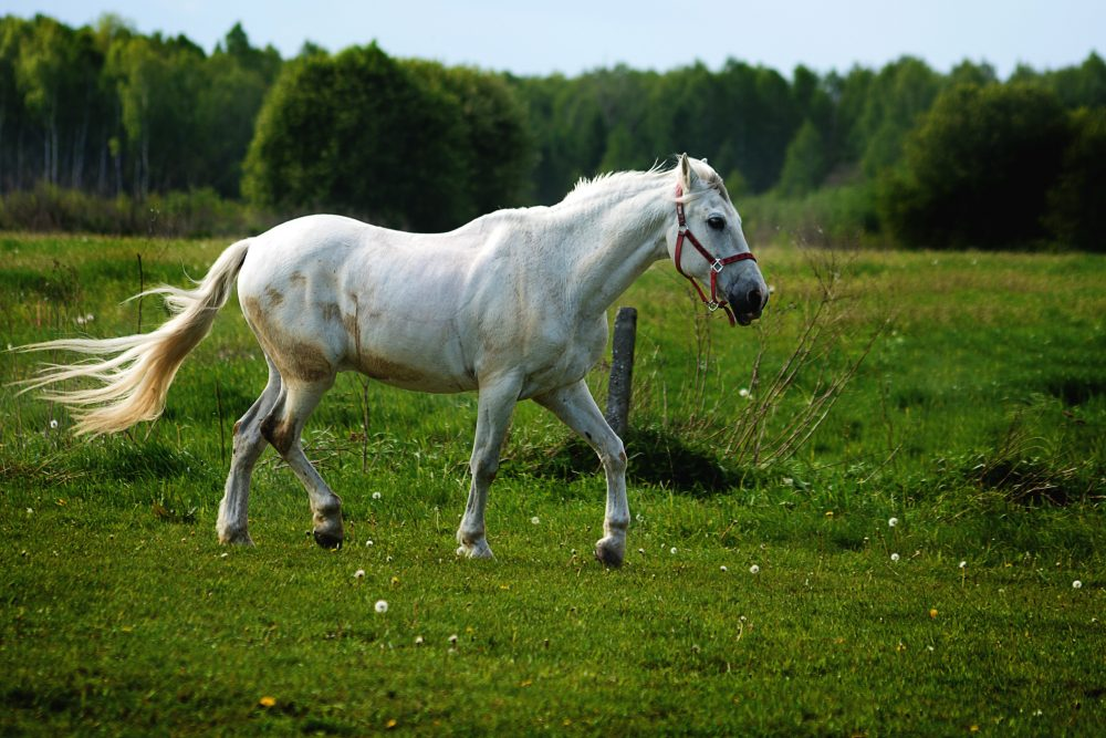 white horse on a green grass